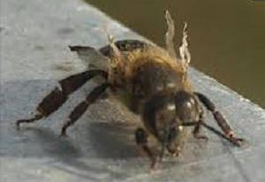Akutna paraliza pčela