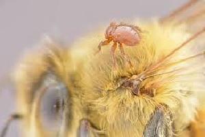 Braula caeca na pčeli matici