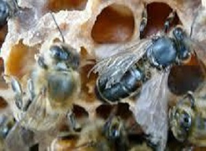 Oboljele pčele