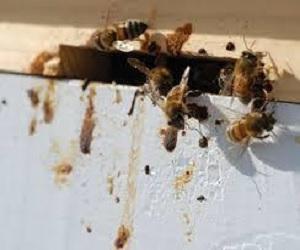 Košnica sa oboljelim pčelama
