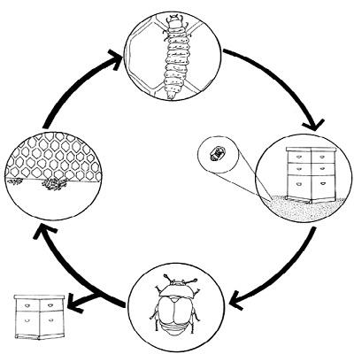 Razvojni ciklus A. Tumida