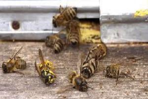 Uginule oboljele pčele u grču