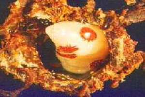 V. destructor na larvi pčela u saću