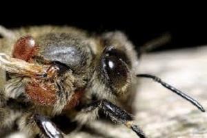 V. destructor na pčeli