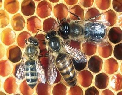 Vrste pčela-radilica matica i trut